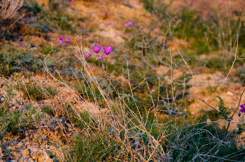 Aral Sea Flowers